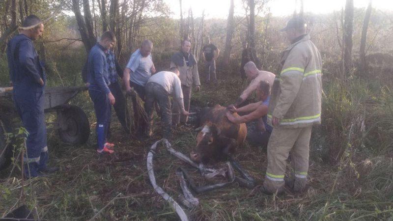 Семеро людей на Вінниччині рятували корову, яка потрапила у пастку (ФОТО)