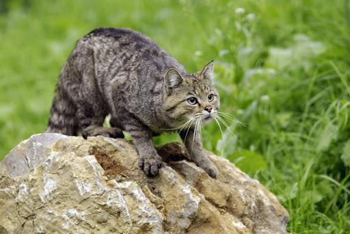 На Вінниччині збільшилась популяція лісового кота